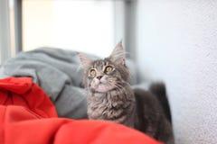 滑稽的缅因浣熊蓝色猫坐一个红色沙发 免版税图库摄影