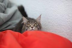 滑稽的缅因浣熊蓝色猫坐一个红色沙发 免版税库存图片