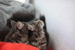 滑稽的缅因浣熊蓝色猫坐一个红色沙发 免版税库存照片