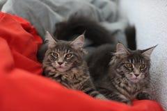 滑稽的缅因浣熊蓝色猫坐一个红色沙发 库存照片