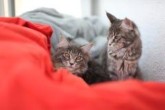 滑稽的缅因浣熊蓝色猫坐一个红色沙发 库存图片