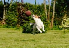 滑稽的美国橄榄球运动员拦截在跳高的触地传球 免版税库存图片