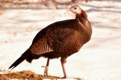 滑稽的肥胖摆在的火鸡腿被举的冬日 库存照片