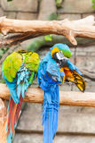 滑稽的色的大金刚鹦鹉对模仿Ara 免版税图库摄影