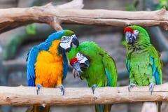 滑稽的色的大金刚鹦鹉对模仿Ara 库存照片