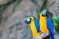 滑稽的色的大金刚鹦鹉对模仿Ara 库存图片