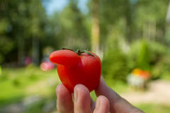 滑稽的蕃茄 免版税库存图片