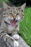 滑稽的虎斑猫哈欠 免版税库存图片