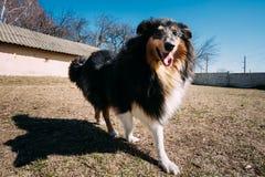 滑稽的设德蓝群岛牧羊犬, Sheltie,大牧羊犬室外狗的戏剧 免版税图库摄影