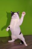 滑稽的跳舞猫 免版税库存照片