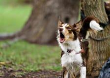 滑稽的边界coollie狗在夏天笑 库存图片