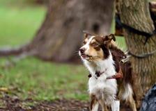 滑稽的边界coollie狗在夏天笑 免版税库存图片