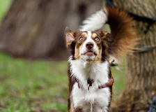滑稽的边界coollie狗在夏天笑 免版税图库摄影