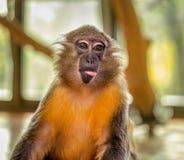 滑稽的连斗帽女大衣猴子 免版税库存照片