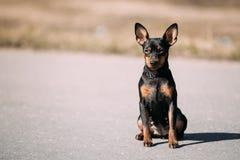 滑稽的逗人喜爱的女性黑颜色微型短毛猎犬室外的Pincher 免版税库存照片