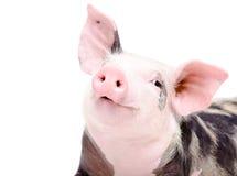 滑稽的逗人喜爱的小猪画象  库存照片