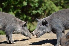 滑稽的野公猪在秋天森林里 库存图片