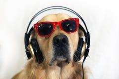 滑稽的金毛猎犬 免版税库存图片