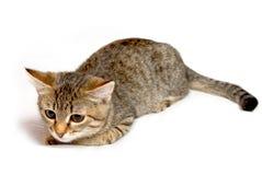 滑稽的镶边小猫。 免版税库存图片