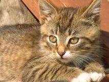 滑稽的镶边小猫 免版税库存照片