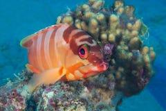 滑稽的鱼特写镜头画象 热带珊瑚礁的场面 Underwa 免版税库存图片