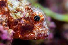 滑稽的鱼特写镜头画象 热带珊瑚礁的场面 Underwa 库存图片