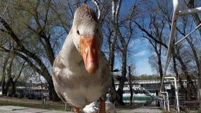 滑稽的鹅 免版税库存照片