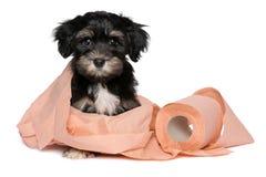 滑稽的黑和棕褐色的havanese小狗使用与卫生纸 免版税图库摄影
