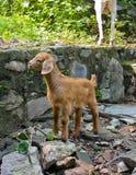 滑稽的婴孩安哥拉猫山羊 图库摄影