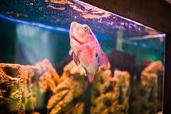 滑稽的水族馆鱼 免版税库存照片