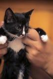 滑稽的黑白小猫 免版税库存照片