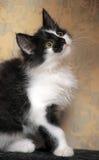 滑稽的黑白小猫 图库摄影