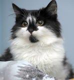 滑稽的黑白小猫 库存图片