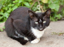 滑稽的黑白猫 库存图片