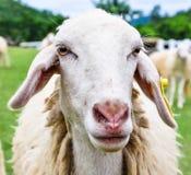 滑稽的绵羊 库存照片