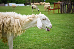 滑稽的绵羊 图库摄影