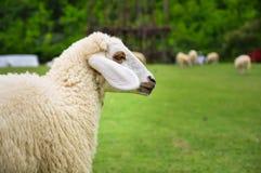 滑稽的绵羊 免版税图库摄影