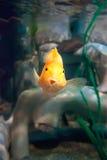 滑稽的黄色鱼 库存照片