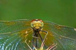 滑稽的蜻蜓坐草本 免版税库存图片
