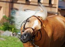 滑稽的画象威尔士小马 免版税库存图片