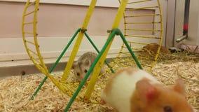 滑稽的仓鼠把笼子引入 股票录像