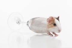 滑稽的仓鼠击倒了在白色背景的玻璃 图库摄影