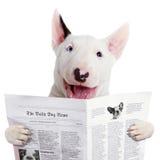 滑稽的bullterier读书报纸 库存图片