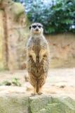 滑稽的meerkat 库存图片