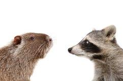 滑稽的nutria和浣熊画象  免版税库存照片