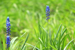穆斯卡里美丽的蓝色花  免版税库存照片