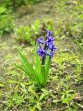 穆斯卡里美丽的蓝色花  库存照片