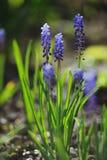 穆斯卡里风信花在春天庭院里 免版税库存图片