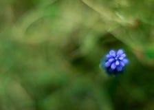 穆斯卡里neglectum花 库存照片