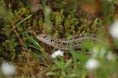穆巴拉克 蜥蜴 图库摄影